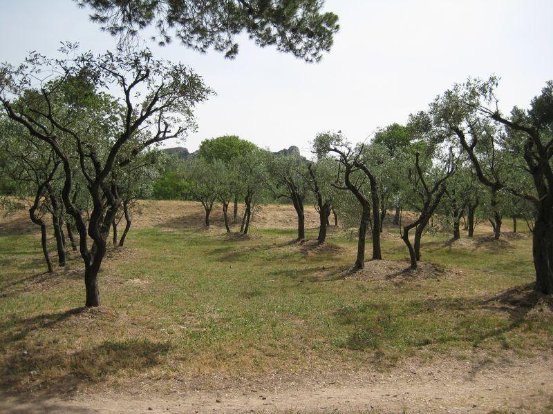 Olive grove not van gogh